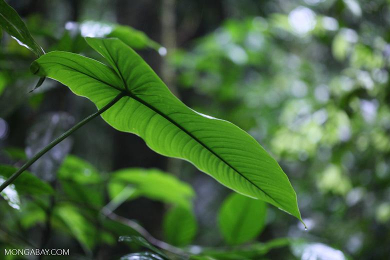Rainforest lily leaf