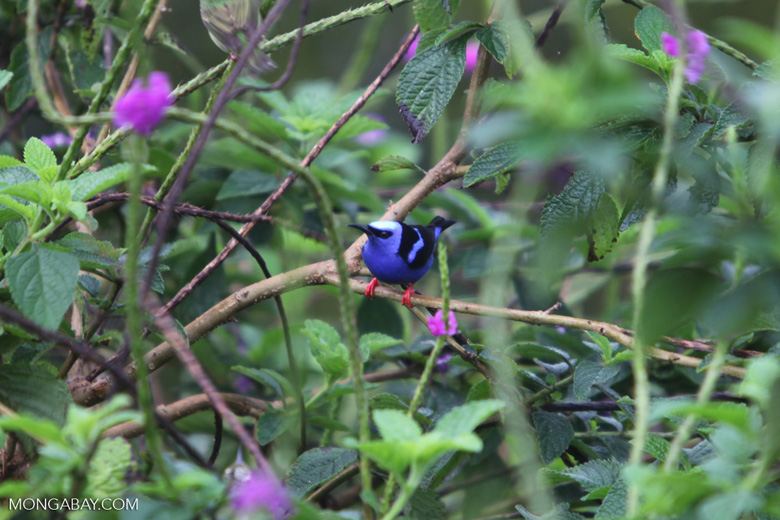 Red-legged Honeycreeper (Cyanerpes cyaneus) [male: blue in color] [costa-rica_0533]