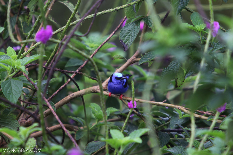 Red-legged Honeycreeper (Cyanerpes cyaneus) [male: blue in color]