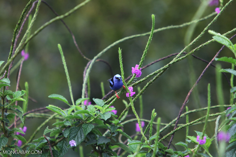 Red-legged Honeycreeper (Cyanerpes cyaneus) [male: blue in color] [costa-rica_0544]