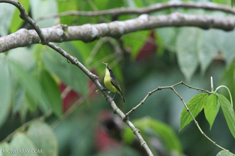 Common Tody-Flycatcher (Todirostrum cinereum) [costa-rica_0648]
