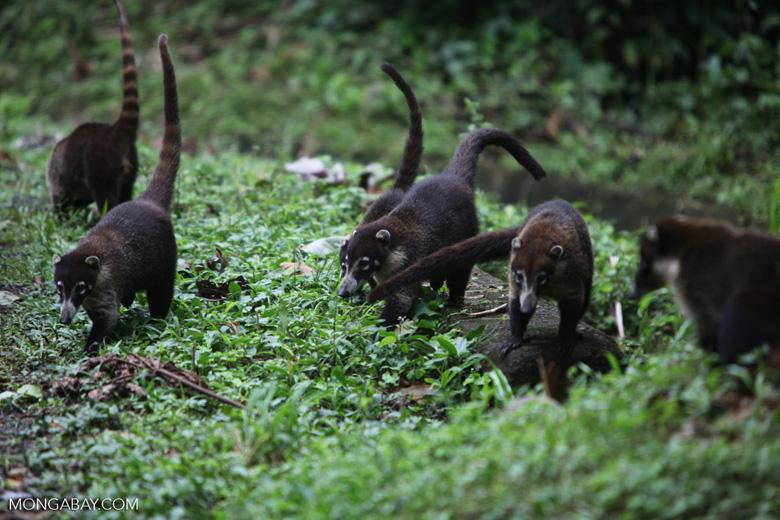 Group of White-nosed Coati [costa-rica_0688]
