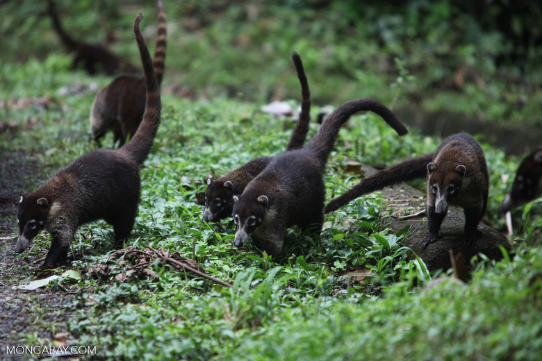 Group of White-nosed Coati