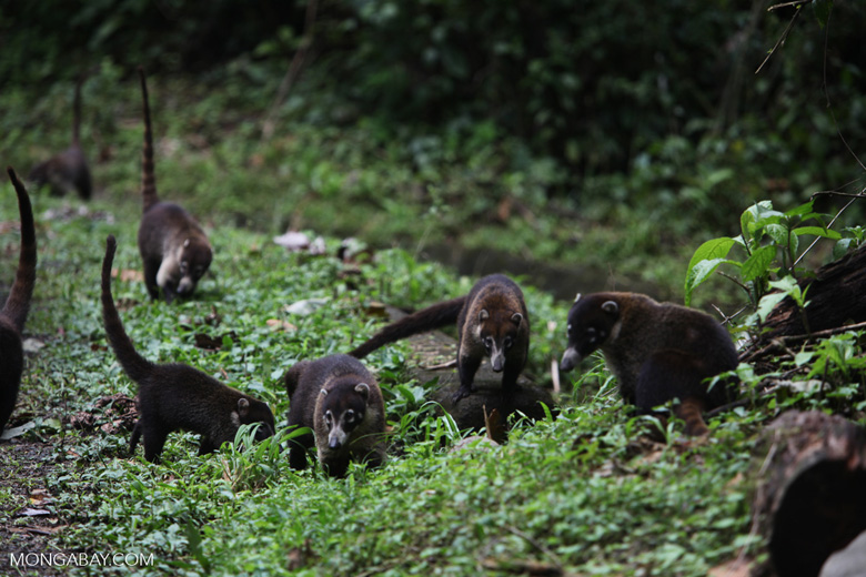 Group of White-nosed Coati [costa-rica_0690]