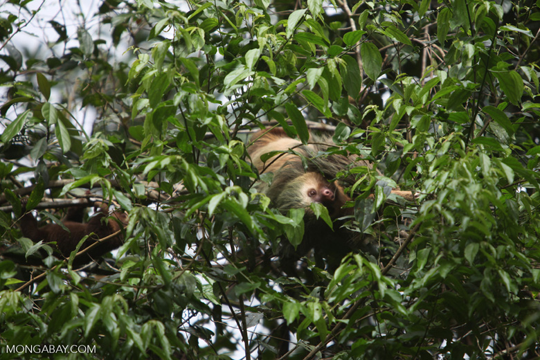 Mama two-toed sloth with baby