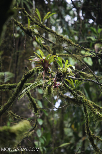 Bromeliads in a Costa Rican cloud forest