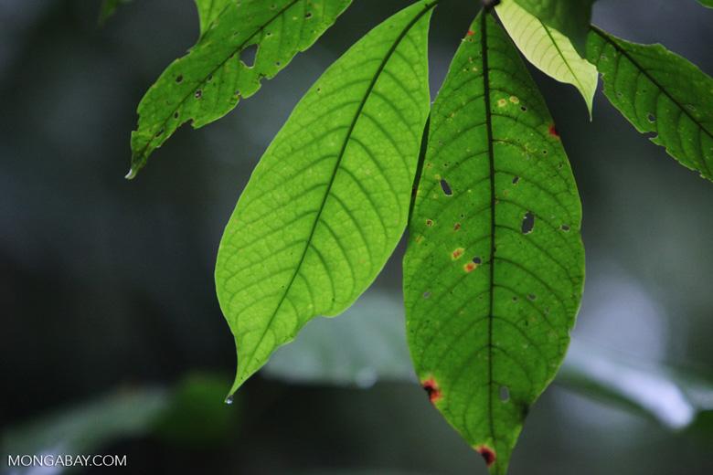 Rainforest leaves [costa-rica_0737]