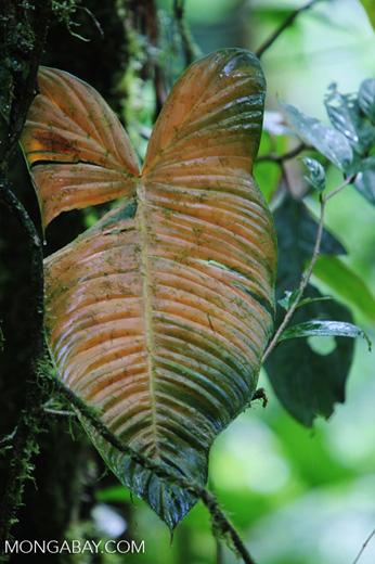 Orange-yellow philodendron leaf