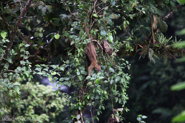Kinkajou in the rainforest canopy