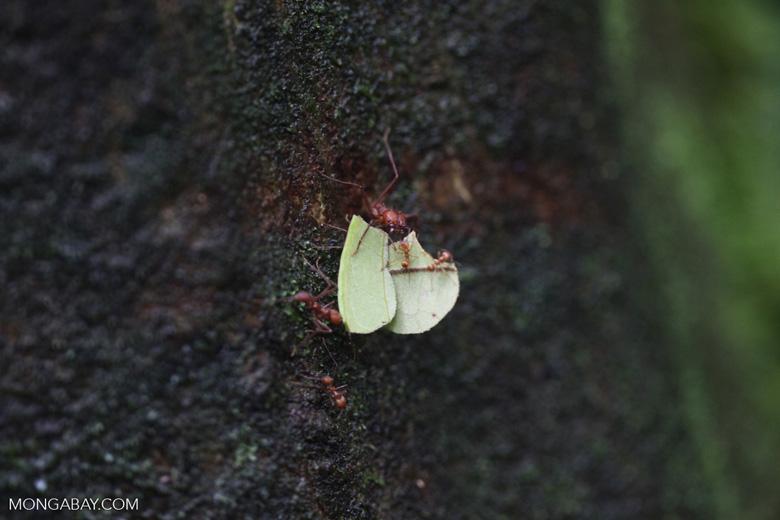 Leaf-cutter ants [costa-rica_0826]
