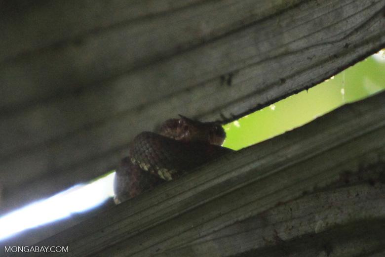 Red and green eyelash viper (Bothriechis schlegelii) [costa-rica_0835]