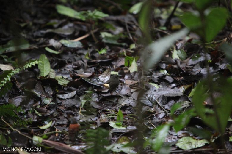 Buff-rumped Warbler (Basileuterus fulvicauda)