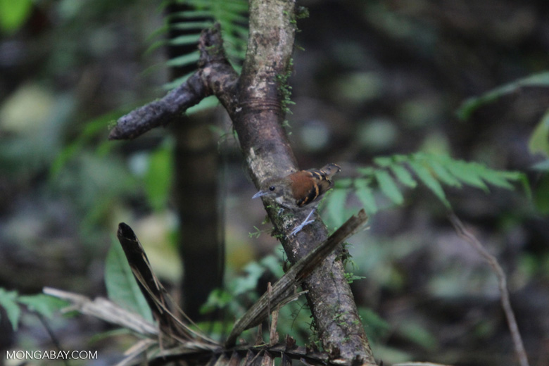 Spotted Antbird (Hylophylax naevioides)