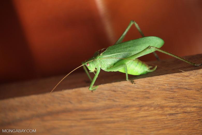 Giant green katydid [costa-rica_0897]