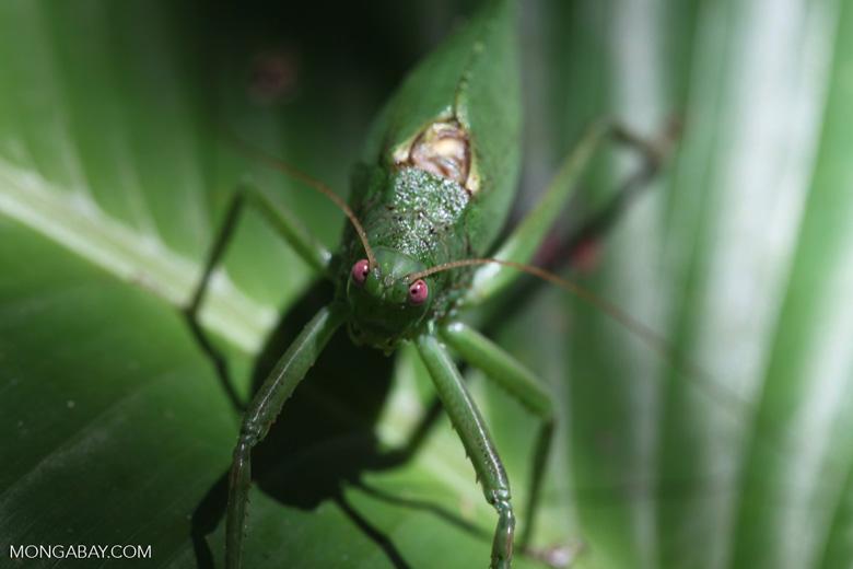 Giant red-eyed green katydid