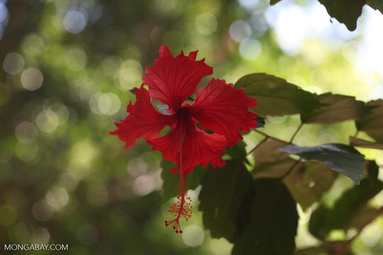 Red hibiscus [costa-rica_0902]