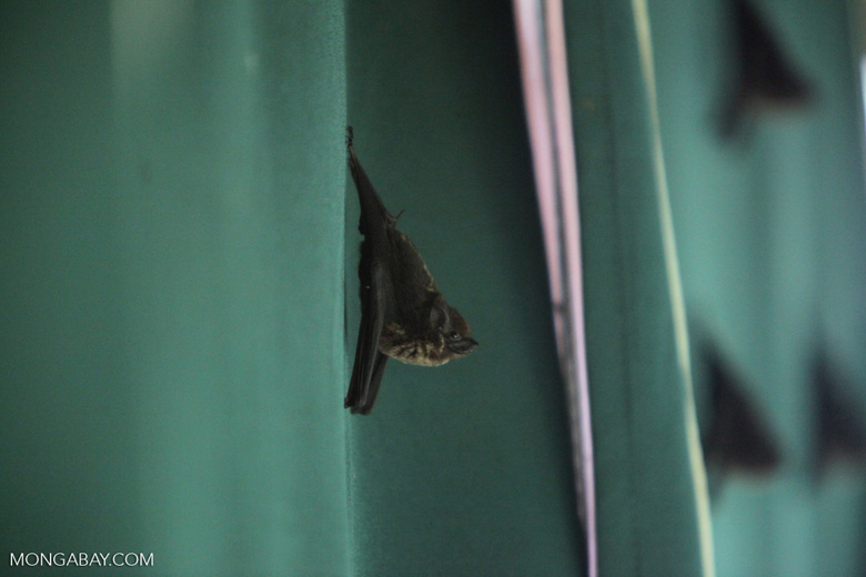 Greater sac-winged bat (Saccopteryx bilineata)