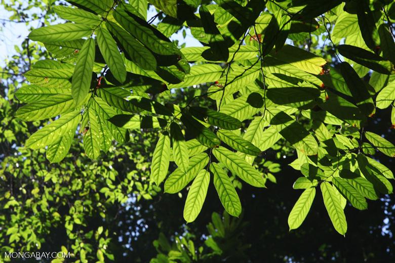 Canopy of the Osa Peninsula rainforest [costa-rica_0959]
