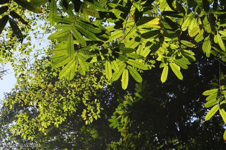 Canopy of the Osa Peninsula rainforest [costa-rica_0960]