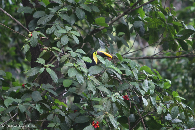 Chestnut-mandibled Toucan (Ramphastos swainsonii) [costa-rica_1014]