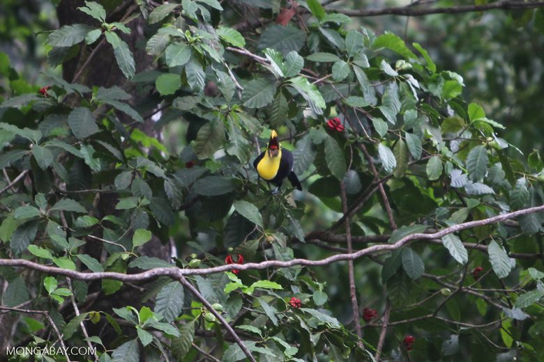 Chestnut-mandibled Toucan swallowing a flower