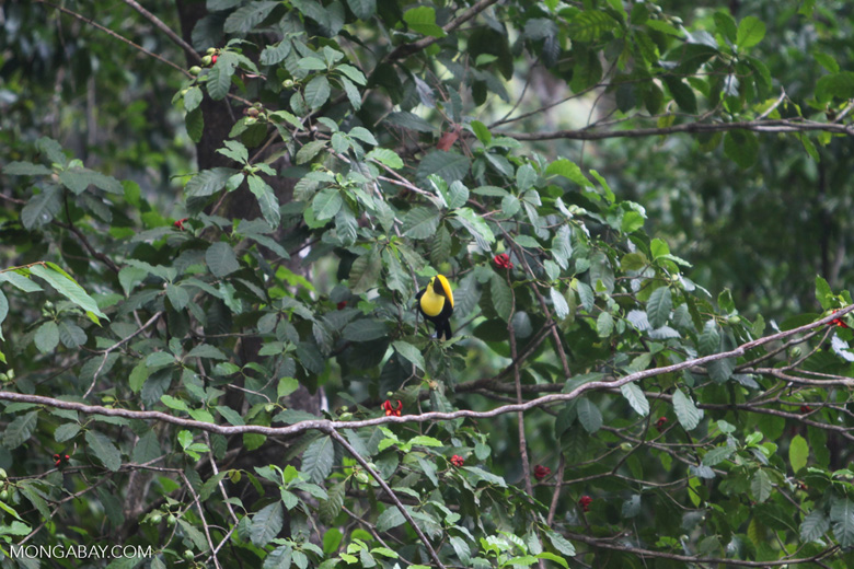 Chestnut-mandibled Toucan (Ramphastos swainsonii) [costa-rica_1019]