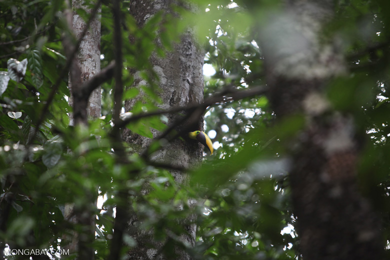 Chestnut-mandibled Toucan in its nest
