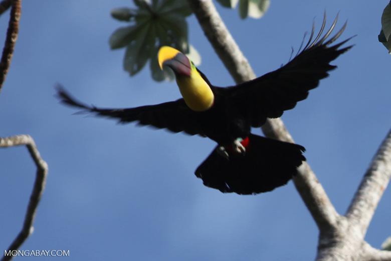 Swainson's Toucan (Ramphastos swainsonii) in flight [costa-rica_1109a]