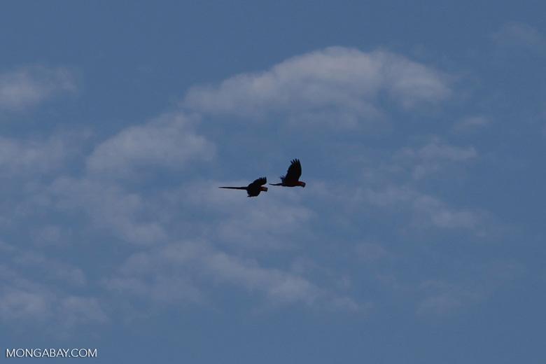 Scarlet macaws in flight [costa-rica_1146]