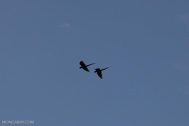 Scarlet macaws in flight [costa-rica_1153]