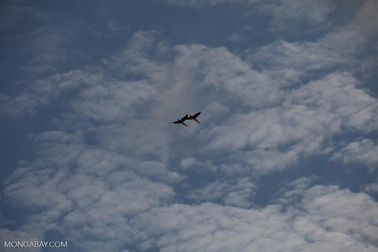 Scarlet macaws in flight [costa-rica_1178]