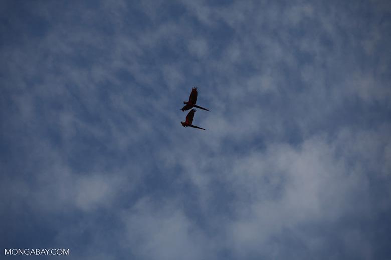 Scarlet macaws in flight [costa-rica_1183]