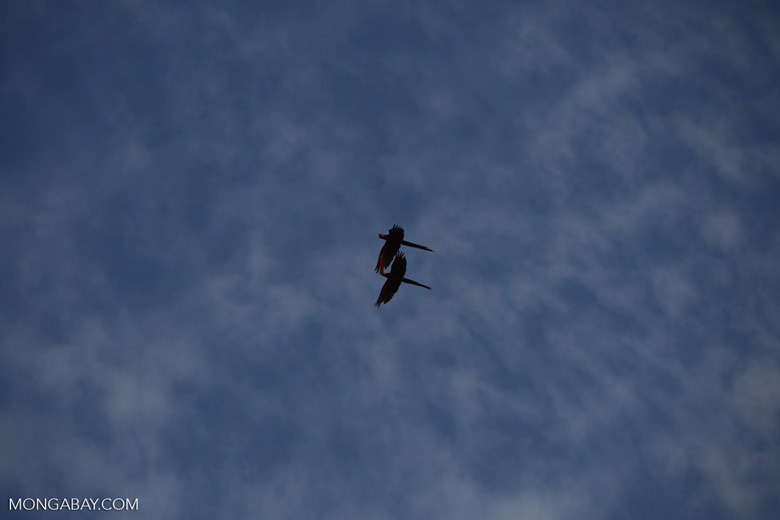 Scarlet macaws in flight [costa-rica_1185]