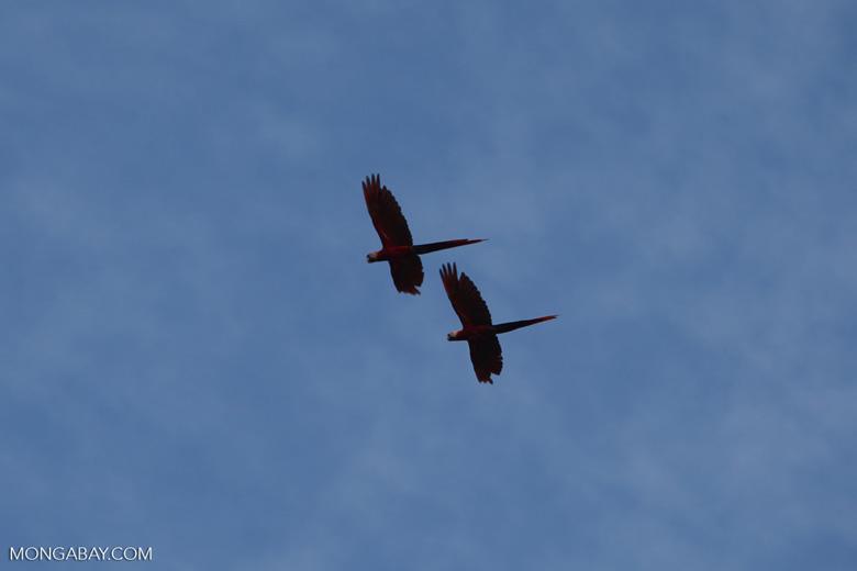 Scarlet macaws in flight [costa-rica_1188a]