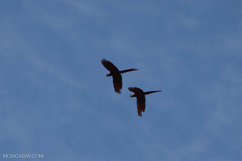 Scarlet macaws in flight [costa-rica_1189a]