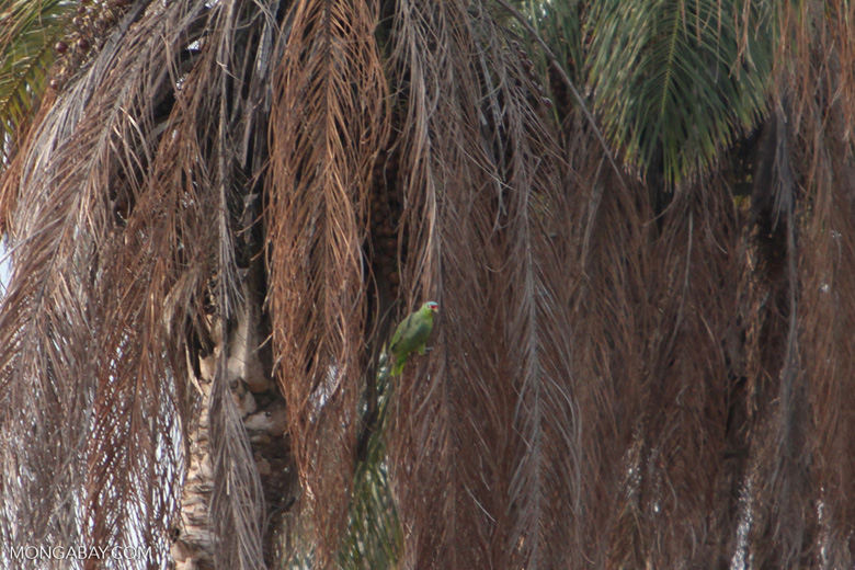 Red lored parrot on a palm tree [costa-rica_1230]