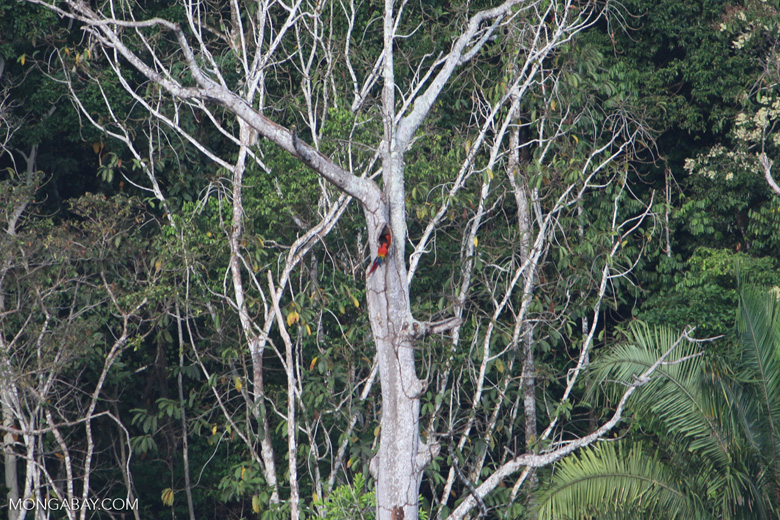 Scarlet macaws nesting in a tree hollow [costa-rica_1265]