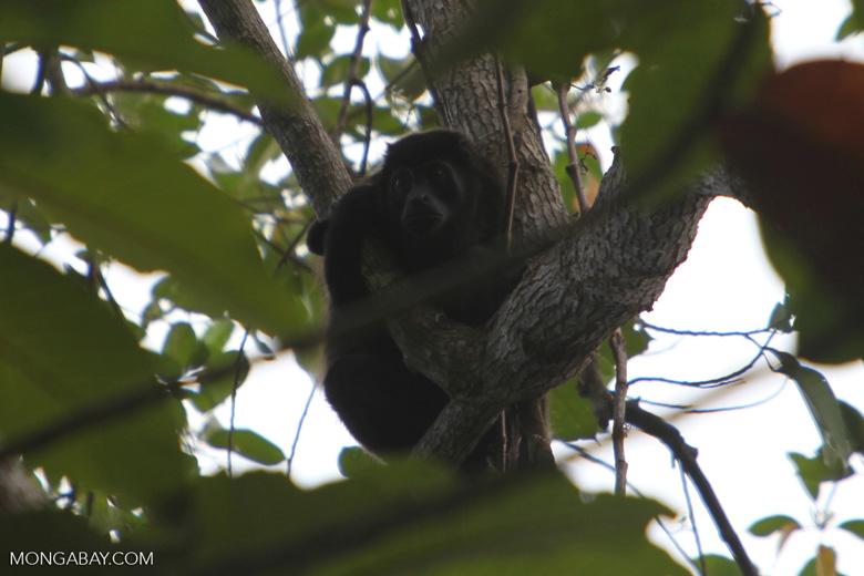 Mantled Howler (Alouatta palliata) or Golden-mantled Howling Monkey [costa-rica_1317]