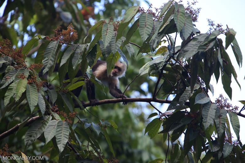 White-faced capuchin [costa-rica_1335a]