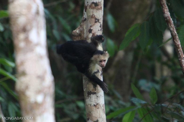 White-faced capuchin [costa-rica_1341]