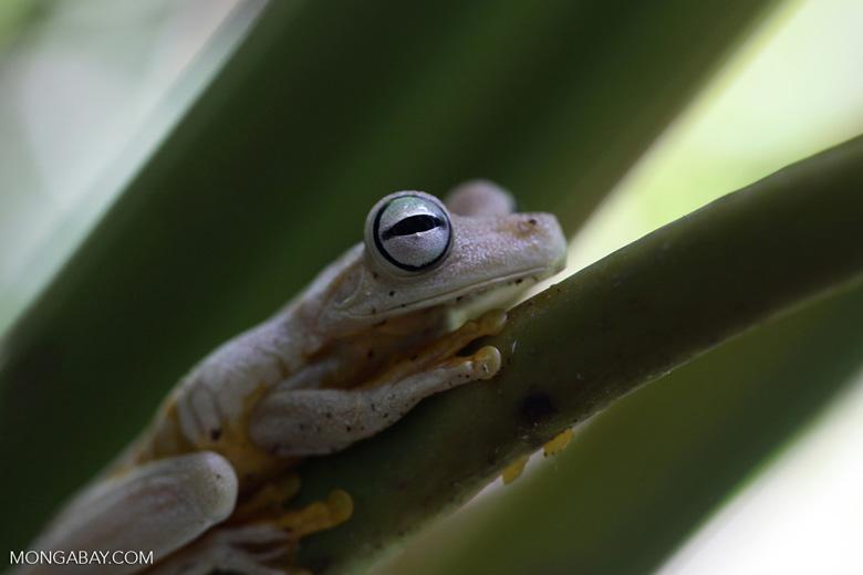 Gladiator tree frog (Hyla rosenbergi)