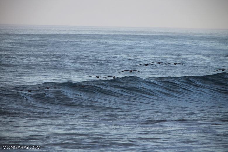 Brown Pelicans (Pelecanus occidentalis) in flight [costa-rica_1405]
