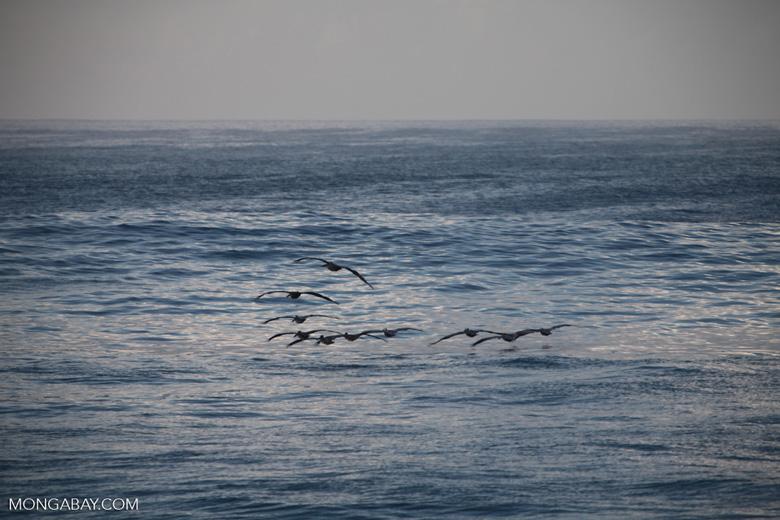 Brown Pelicans (Pelecanus occidentalis) in flight [costa-rica_1412]