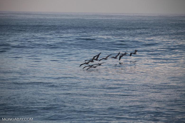 Brown Pelicans (Pelecanus occidentalis) in flight [costa-rica_1414]