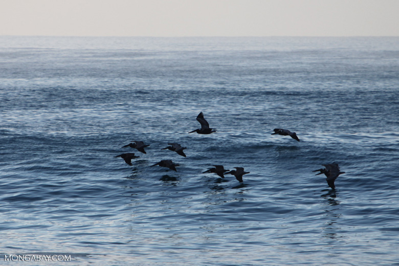 Brown Pelicans (Pelecanus occidentalis) in flight
