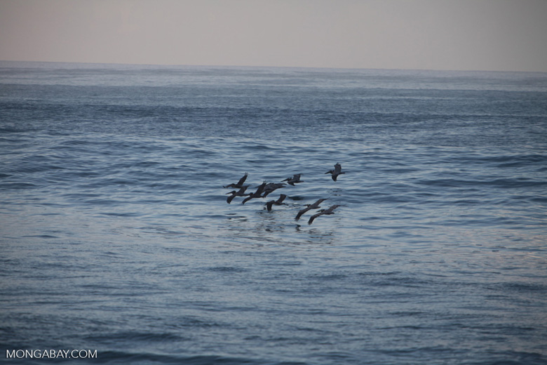 Flock of Brown Pelicans (Pelecanus occidentalis) in flight