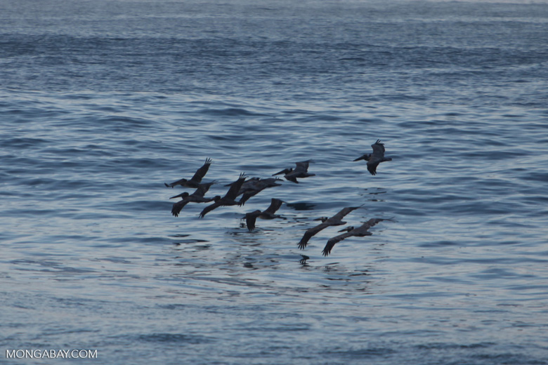 Brown Pelicans (Pelecanus occidentalis) in flight [costa-rica_1416a]