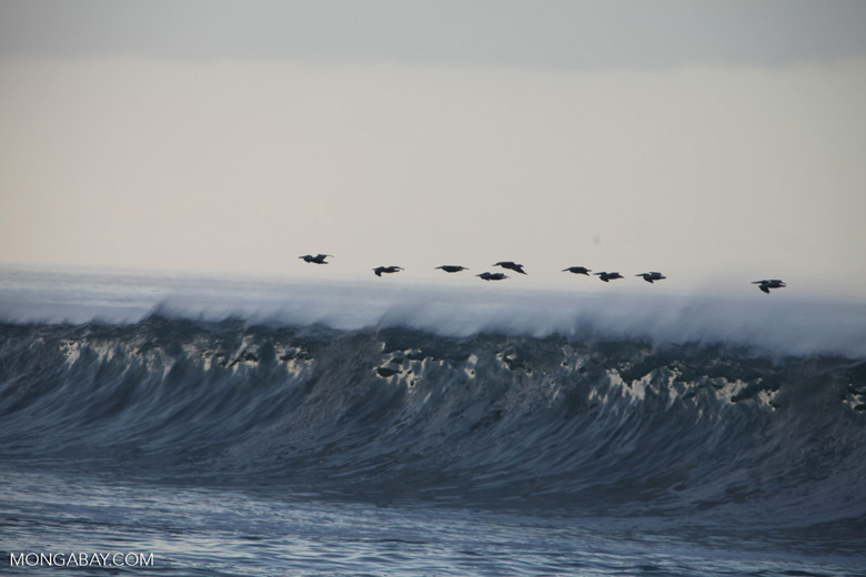 Brown Pelicans (Pelecanus occidentalis) in flight over crashing surf [costa-rica_1424]