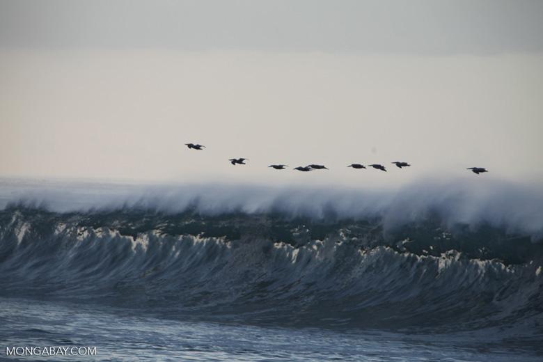 Brown Pelicans (Pelecanus occidentalis) in flight over crashing surf [costa-rica_1425]