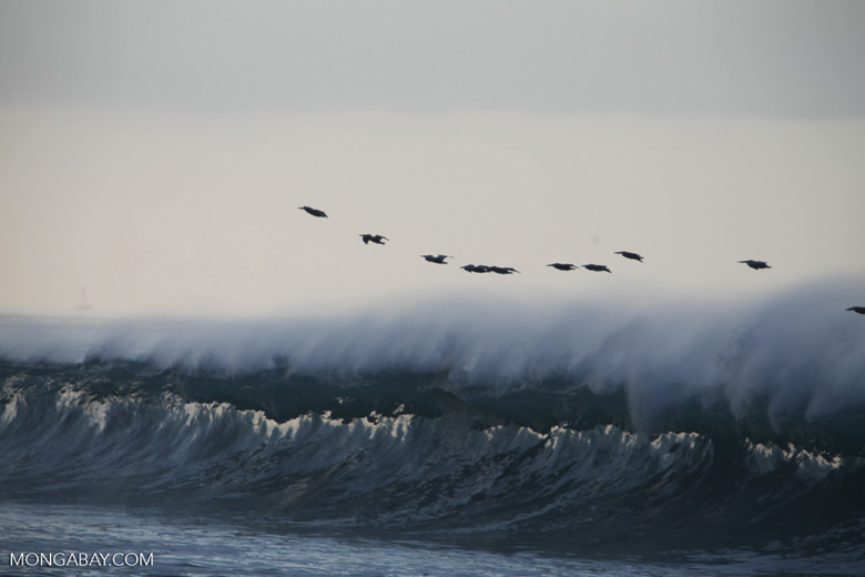 Brown Pelicans (Pelecanus occidentalis) in flight over crashing surf